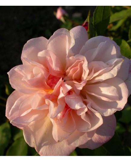Rosa 'Crépuscule' - Rosaceae - Rosier