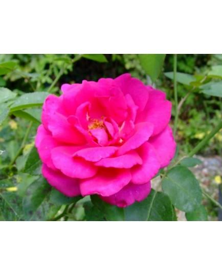 Rosa 'Critérion' - Rosaceae - Rosier nain