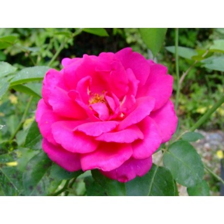 Rosa 'Critérion' - Rosaceae - Rosier nain