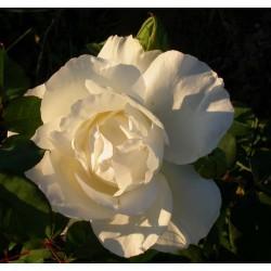 Rosa 'Croix blanche' - Rosaceae - Rosier