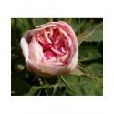 Rosa 'Cuisse de Nymphe' - Rosaceae - Rosier
