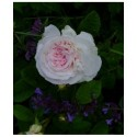 Rosa 'Cuisse de Nymphe Emue' - Rosaceae - Rosier