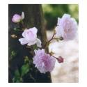 Rosa  'Débutante' - Rosaceae - Rosier
