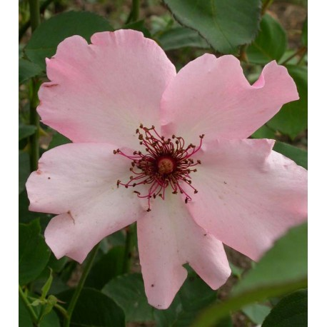 Rosa 'Dainty Bess' - Rosaceae - Rosier