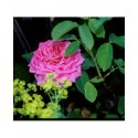 Rosa 'Dame Edith Helen' - Rosaceae - Rosier