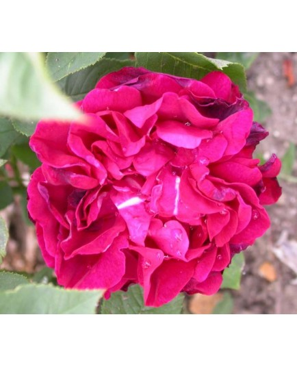 Rosa 'Dames patronnesses d'Orléans' - Rosaceae - Rosier
