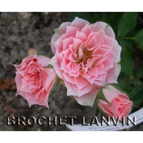 Rosa 'Daniela' - Rosaceae - rosier nain