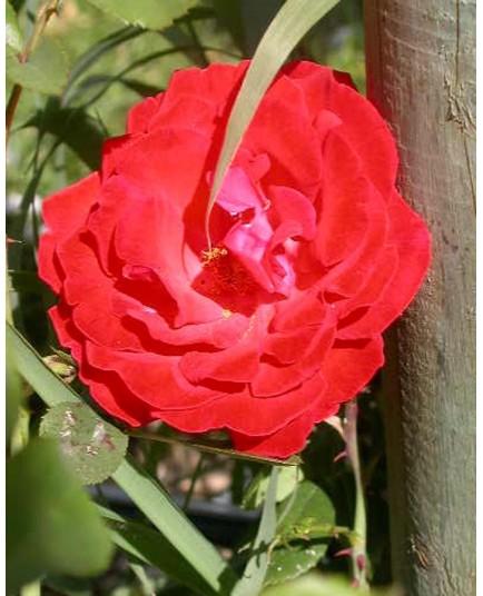 Rosa 'Danse des Sylphes' - Rosaceae - Rosier