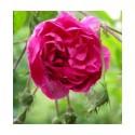 Rosa 'De la Grifferaie' - Rosaceae - Rosier