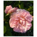 Rosa 'Desprez à Fleurs Jaunes' - Rosaceae - Rosier