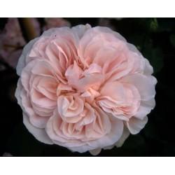 Rosa 'Devoniensis cl' - Rosaceae - Rosier