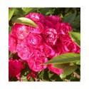 Rosa 'Dinky (R)' - Rosaceae - Rosier