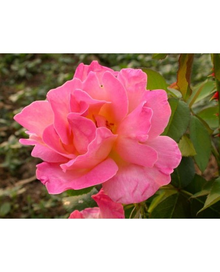 Rosa 'Docteur Eckener' - Rosaceae - Rosier