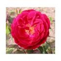 Rosa 'Docteur Jamain' - Rosaceae