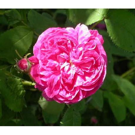 Rosa 'Duc de Guiche' - Rosaceae - Rosier