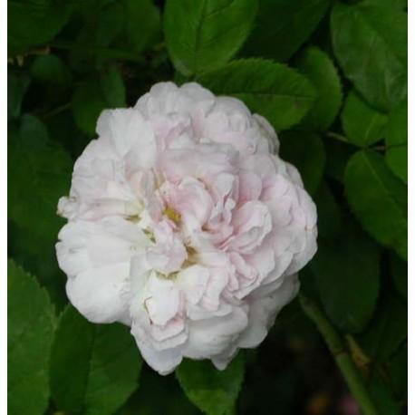 Rosa 'Duchesse de Montebello' - Rosaceae - Rosier