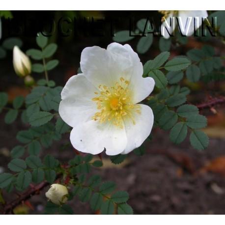 Rosa 'Dunwich Rose' - Rosaceae