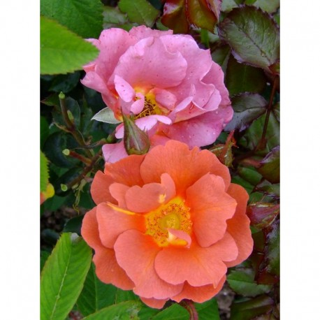 Rosa 'Edith Holden' - Rosaceae - Rosier