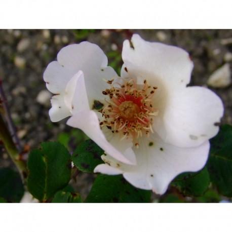 Rosa 'Ellen Willmott' - Rosaceae - rosier