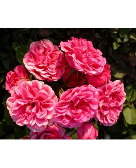 Rosa 'Elmshorn' - Rosaceae - Rosier