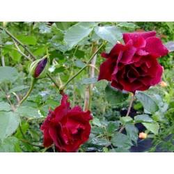 Rosa 'Etoile de Hollande' - Rosaceae - Rosier