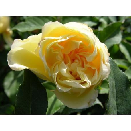 Rosa 'Etoile de Lyon' - Rosaceae - Rosier