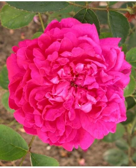 Rosa 'Eugénie Guinoisseau' - Rosaceae - Rosier