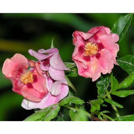 Rosa 'Euphrate' - Rosaceae - rosier