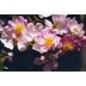 Rosa  'Evangeline' - Rosaceae - Rosier