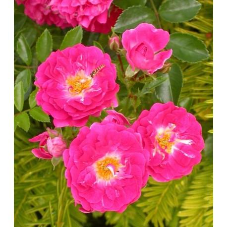 Rosa  'Excelsa' - Rosaceae - Rosier