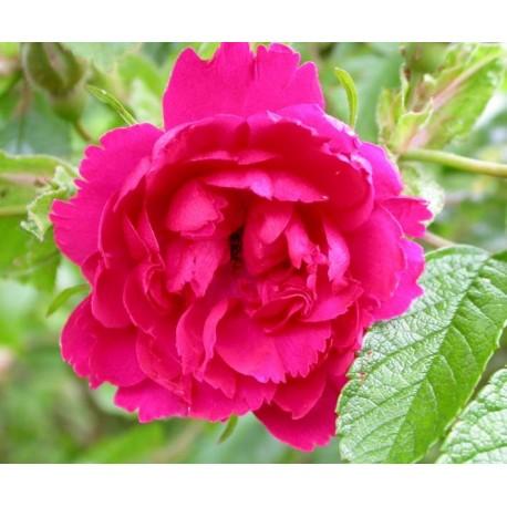 Rosa 'F. J. Grootendorst' - Rosaceae - Rosier