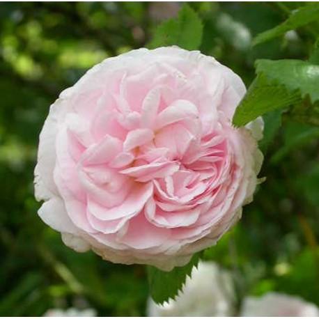 Rosa 'Félicité Parmentier' - Rosaceae - Rosier