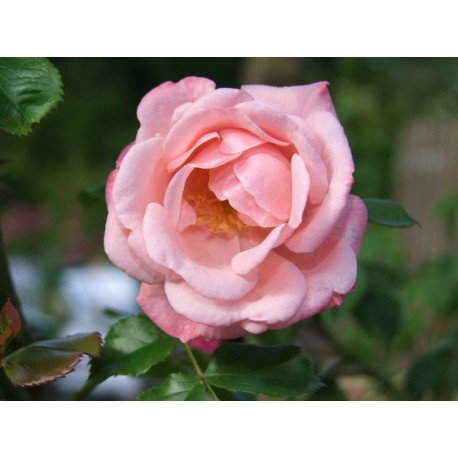 Rosa  'Fandango' - Rosaceae - Rosier