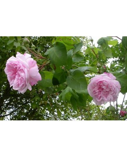 Rosa fantin latour rosier - Quand planter un rosier ...