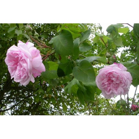 Rosa 'Fantin Latour' - Rosaceae - Rosier