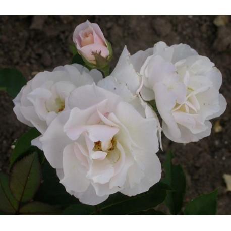 Rosa 'Feeling' - Rosaceae - Rosier