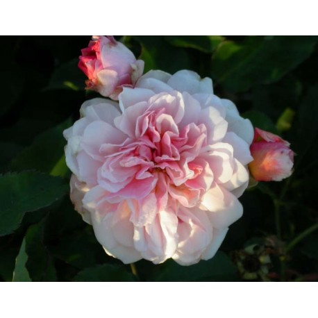 Rosa 'Felicia' - Rosaceae - Rosier
