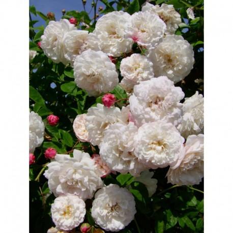 Rosa  'Felicité et Perpétue' - Rosaceae - Rosier