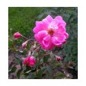 Rosa 'Fellemberg' - Rosaceae