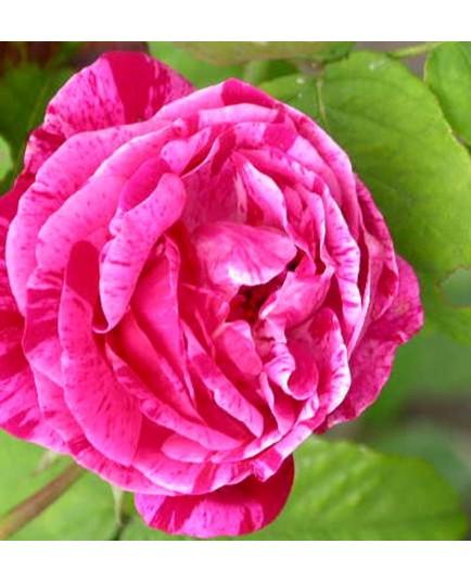Rosa 'Ferdinand Pichard' - Rosaceae - Rosier