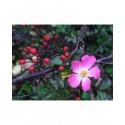 Rosa  'Fil des Saisons' - Rosaceae - Rosier couvre sol