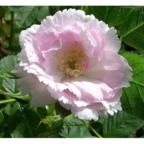 Rosa 'Fimbriata' - Rosaceae - rosier