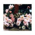 Rosa 'Frühlingsduft' - Rosaceae - Rosier
