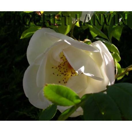 Rosa 'Frühlingsgold' - Rosaceae - Rosier
