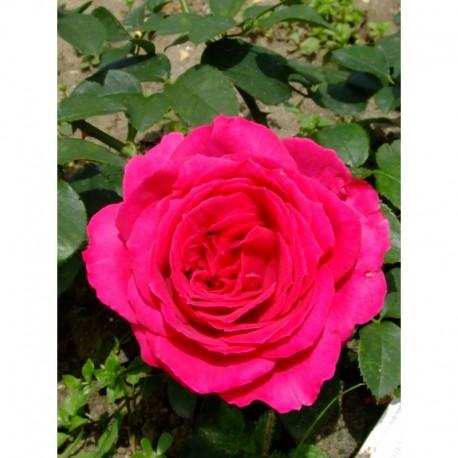 Rosa 'Fragrant Delight' - Rosaceae - Rosier