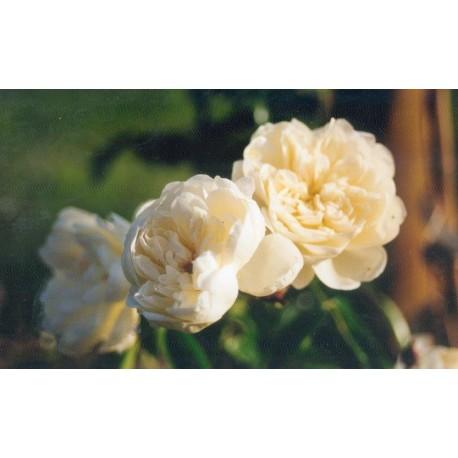 Rosa  'François Foucard' - Rosaceae - Rosier