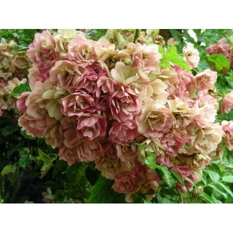 Rosa  'Francis' - Rosaceae - rosier