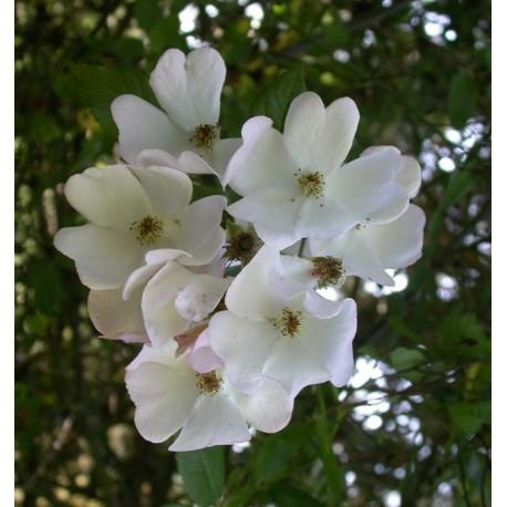 Rosa  'Francis E Lester' - Rosaceae - Rosier