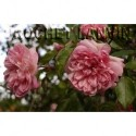 Rosa  'Francois Juranville' - Rosaceae - Rosier