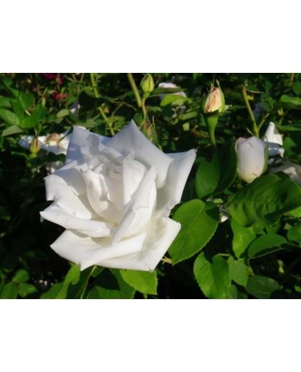 Rosa 'Frau Karl Druschki' - Rosaceae - Rosier